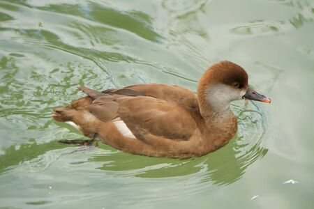 Brown female pochard duck with typical grey cheeks floating on the water lake Stock Photo - 18303385