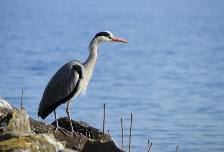 Quiet grey heron standing on a rock next to the water lake Stock Photo - 18303324