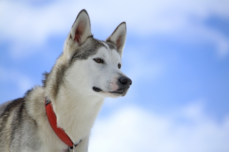 lofty: Siberian husky dog wearing red necklace portrait and cloudy sky background Stock Photo