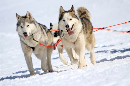 A husky sled dog team at work with tongue outside by winter day photo