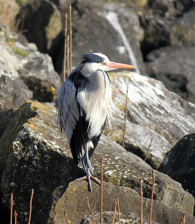 Quiet grey heron standing on a rock with its neck short as to minimize size not to been seen photo