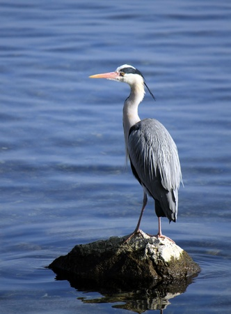 Quiet grey heron standing on a rock in the middle of the water lake Stock Photo - 18574721