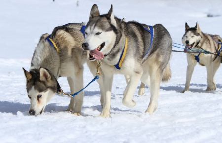 A husky sled dog team running with tongue outside by winter day photo