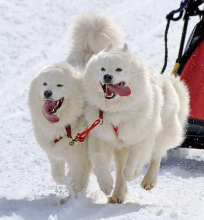 Samoyed sled dog team running fast with tongue outside by winter day photo