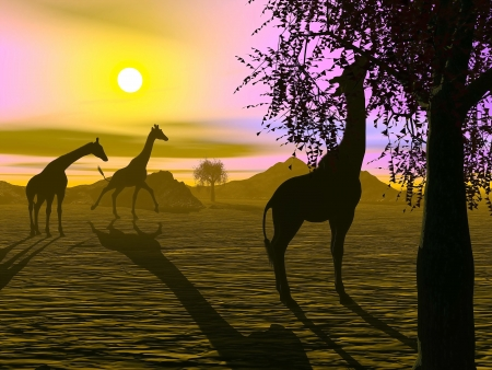 Shadow of three giraffes in the savannah by sunset photo