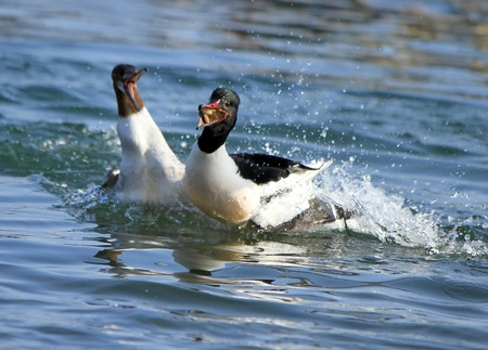Goosander males fighting for a piece of bread in the water lake photo