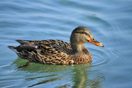 Female mallard duck floating on the water photo