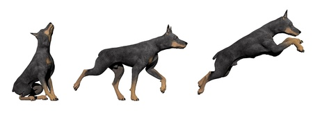Three doberman dogs in white background photo