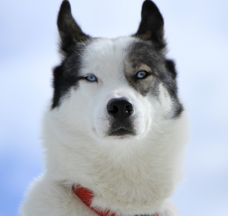 Close up of a husky dog head with its beautiful blue eyes photo