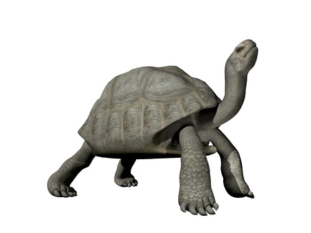 slowness: Big Galapagos tortoise isolated in white background