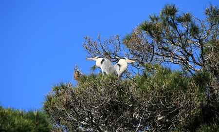 Two herons standingquietly back to back in a tree by beautiful weather photo