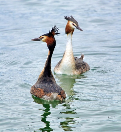 crested duck: Two red crested grebe duck parading face to face