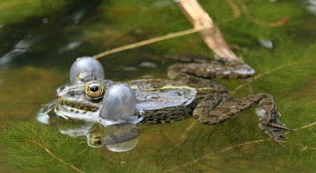 Frog swimming in the pond and croaking so as to have two bubbles around its head photo
