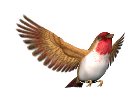 Scarlett finch bird flying with open wings in white background Stock Photo