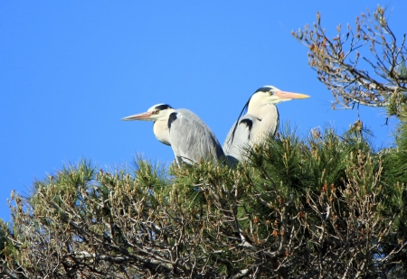 Two herons standing quietly back to back in a tree by beautiful weather photo