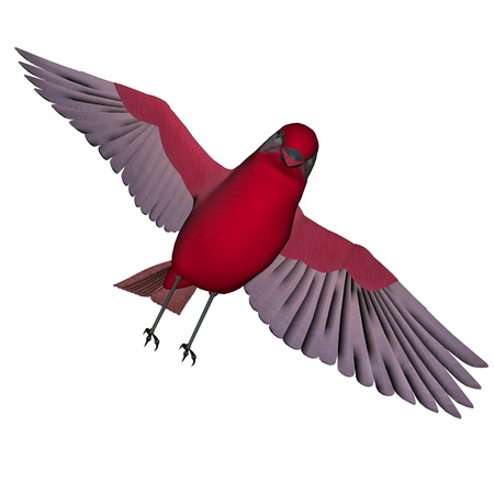birdsong: Beautiful red birdsong flying wings wide open in white background