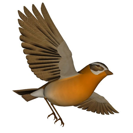 birdsong: Beautiful orange birdsong flying wings wide open in white background