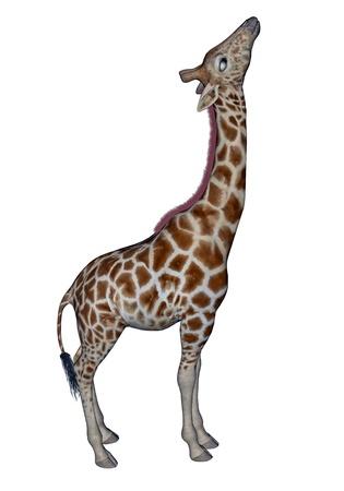 nostril: Giraffe standing head up in white background