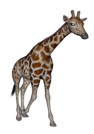 girafe: Giraffe head up and walking ahead in white background Stock Photo