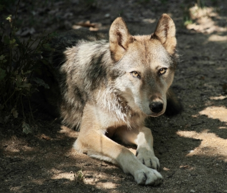 Grey wolf  canis lupus  lying down on the ground by hot weather looking at photographer photo