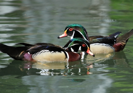 Two male wood ducks  aix sponsa  swimming in blue water photo