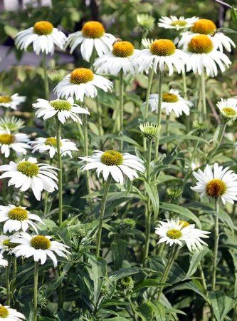 coneflowers: Several echinacea purpurea flowers, also known as  white swan  or coneflowers