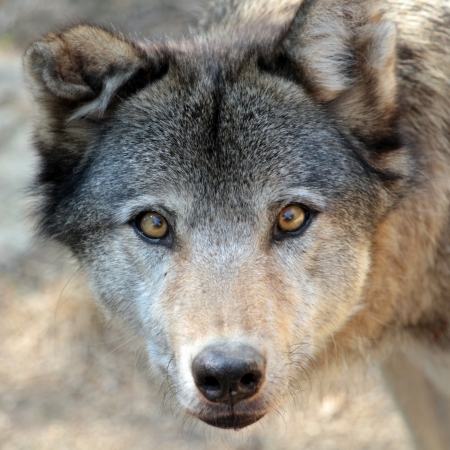 wolf face: Grey wolf  canis lupus  portrait from up Stock Photo