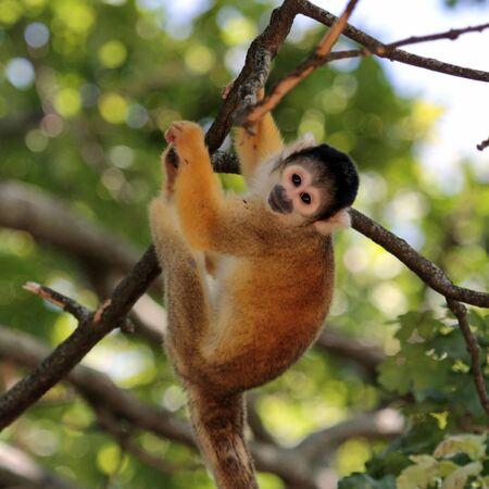 sciureus: Squirrel Monkey holding at a branch  Saimiri sciureus