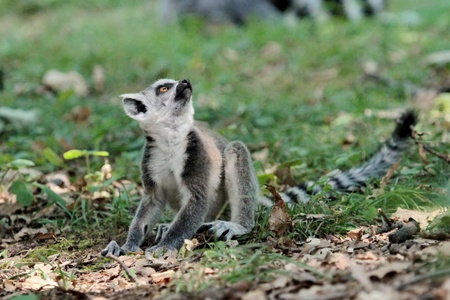 Lemur catta  maki  of Madagascar standing on the ground and looking up wondering photo
