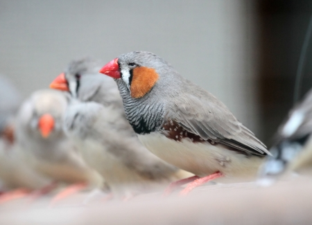 Several zebra finch  Taeniopygia guttata  birds standing on a branch photo