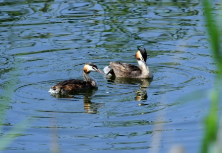 crested duck: Couple of great crested grebe male and female ducks, podiceps cristatus, on water