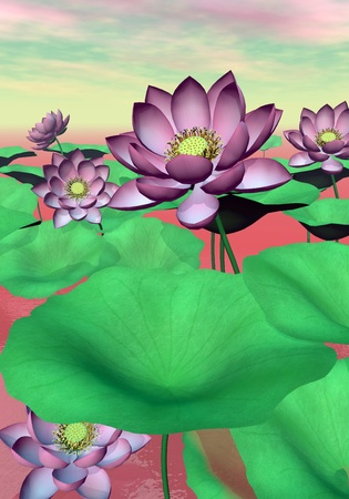 Beautiful pink water lilies and lotus flowers with leaves by cloudy sunset light photo