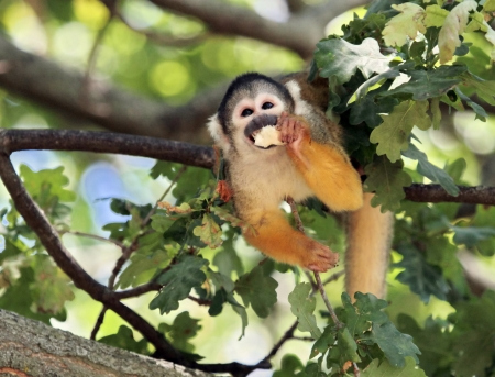 sciureus: Squirrel Monkey eating in a tree  Saimiri sciureus