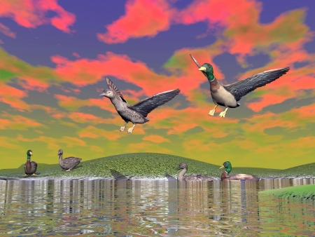 ornithologist: Mallard ducks couple, anas boschas, landing on a lake, others swimming and resting, sunset colorful sky