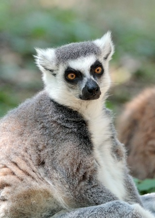 Lemur catta  maki  of Madagascar sitting quietly on the ground photo