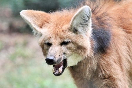 The maned wolf  chrysocyon brachyurus  portrait mouth open photo