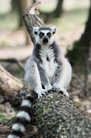 Lemur catta  maki  of Madagascar sitting quietly on a dead trunk photo