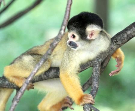 sciureus: Squirrel monkey  saimiri sciureus holding on a branch and looking back