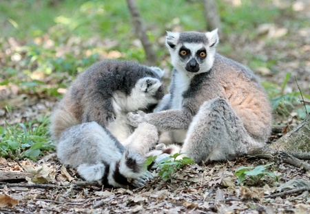 Zwo lemur catta  maki  of Madagascar sitting quietly on the ground and cleaning each other photo