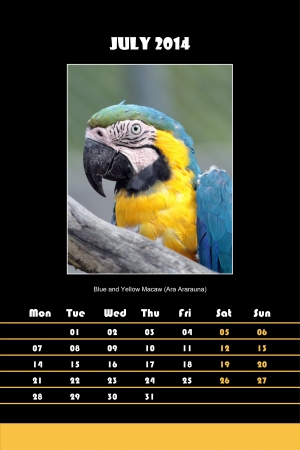 ara: Colorful english bird calendar for july 2014 in black background, blue and yellow macaw  ara ararauna  picture