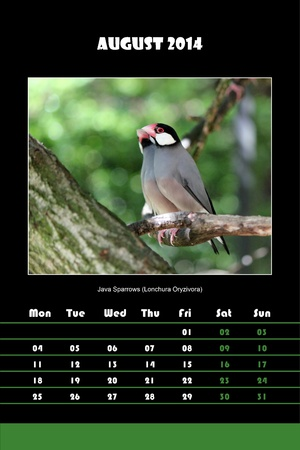 Colorful english calendar for august 2014 in black background, java sparrows  lonchura oryzivora  picture photo