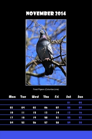 Colorful english bird calendar for november 2014 in black background, feral pigeon  columba livia  picture photo