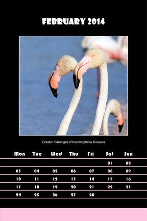 Colorful english calendar for february 2014 in black background, greater flamingos  phoenicopterus roseus  picture photo