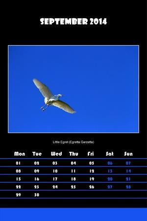 Colorful english bird calendar for september 2014 in black background, little egret  egretta garzetta  picture photo