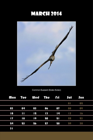 Colorful english calendar for march 2014 in black background, common buzzard  buteo buteo  picture photo