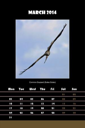 buzzard: Colorful english calendar for march 2014 in black background, common buzzard  buteo buteo  picture