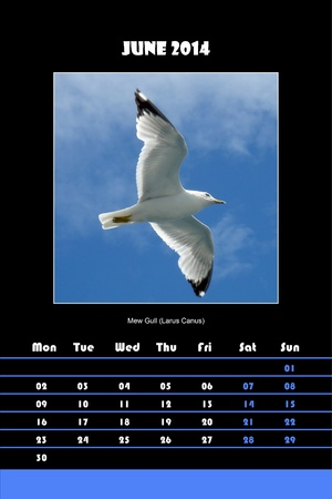 Colorful english calendar for june 2014 in black background, mew gull  larus canus  picture photo