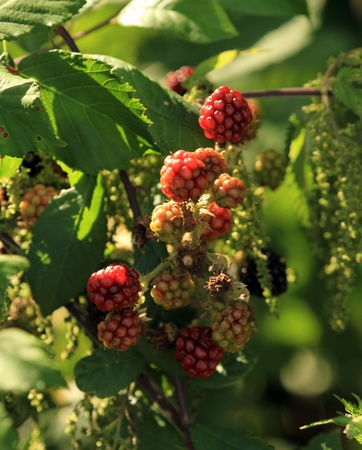 non vegetarian: Non mature blackberry fruits growing on branch