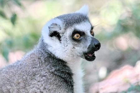 Lemur catta  maki  of Madagascar shouting close up portrait photo
