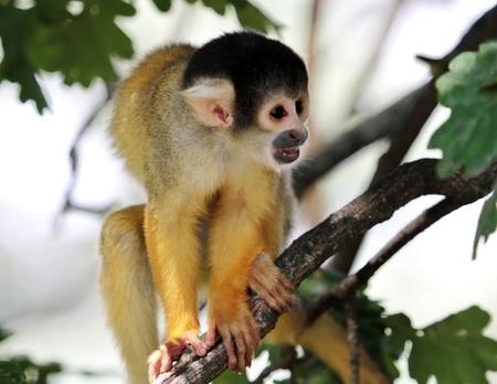 sciureus: Squirrel monkey  saimiri sciureus  holding on a branch and looking ahead